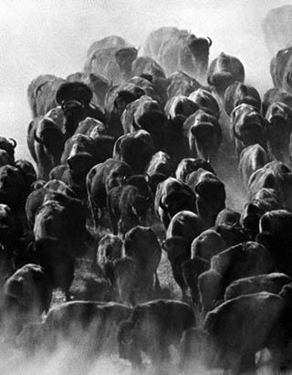 Datowanie bizonów