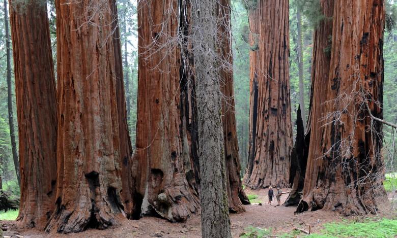 Na pograniczu dzikości, piękna i monumentalizmu  (wśród drzew gigantów - w Parku Narodowym Sekwoi, Kalifornia)