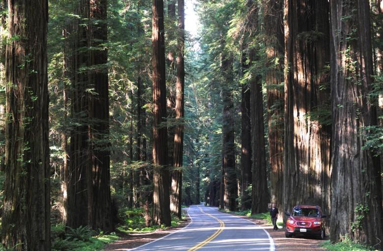 Nie wszystek krasnobór wycięto: wśród strzelistych sekwoi Redwood, przy drodze Avenue of the Giants w Kalifornii