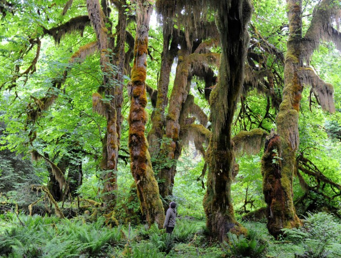 W bajecznym lesie - oszołomienie bujnością życia i intensywnością zieleni (Las Deszcziwy Hoh, Park Narodowy Olympic w stanie Waszyngton)