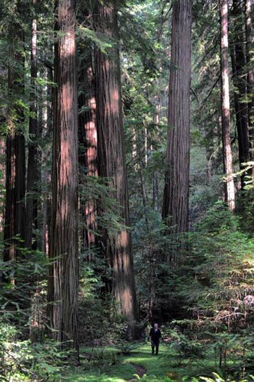 Wśród sekwoi redwood - Avenue of the Giants