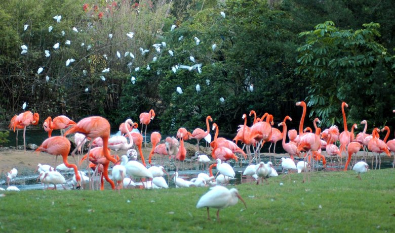 Różowo mi - stado flamingów i innych ptaków w Bush Garden w Tampie