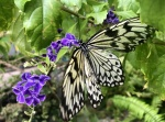 Aruba – motyle – fot. Stanisław Błaszczyna(11)