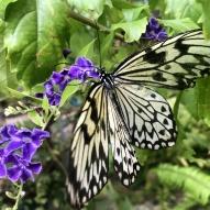 Aruba - motyle - fot. Stanisław Błaszczyna (11)