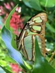 Aruba – motyle – fot. Stanisław Błaszczyna(13)