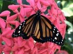 Aruba – motyle – fot. Stanisław Błaszczyna(14)