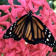 Aruba - motyle - fot. Stanisław Błaszczyna (14)
