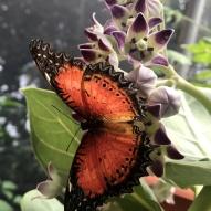 Aruba - motyle - fot. Stanisław Błaszczyna (16)
