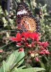 Aruba – motyle – fot. Stanisław Błaszczyna(5)
