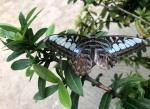 Aruba – motyle – fot. Stanisław Błaszczyna(6)