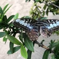 Aruba - motyle - fot. Stanisław Błaszczyna (6)