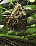 Aruba – motyle – fot. Stanisław Błaszczyna(7)