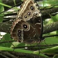 Aruba - motyle - fot. Stanisław Błaszczyna (7)