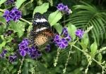 Aruba – motyle – fot. Stanisław Błaszczyna(8)