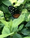 Aruba – motyle – fot. Stanisław Błaszczyna(9)